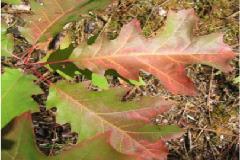 Chêne rouge - Petits Gestes Ecolos
